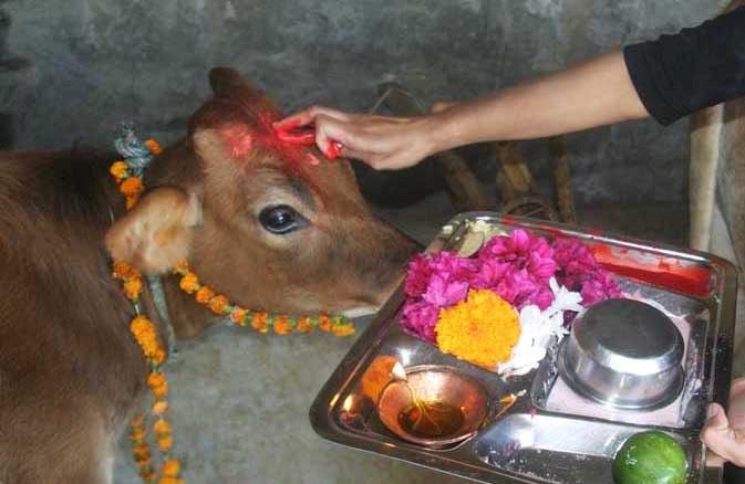 Puja For Cows-Gopuja-Udupi Sri Krishna Temple